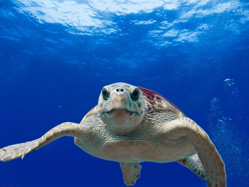tortue océan